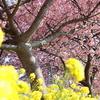 【YouTube 更新】美しい河津桜は動画でも見て欲しいのです。