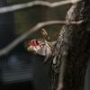 ふれあい昆虫館で珍しい「カブキカマキリ」を撮る
