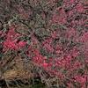 21 , Spring colors 2 … 老梅の美学