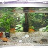 お祭りの金魚のピンチを救った話【過去記事紹介】【NATSUKIのつぶやき】