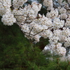 相模原市大島の桜