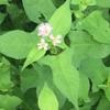 湿原のタデの花じゃ