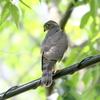 木陰の電線より飛び立つツミの幼鳥