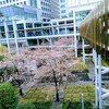 【2018】品川インターシティの桜