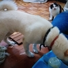 【ご報告】柴犬ばん太とスコティッシュフォールド没っちゃんを手放して、本当に犬猫をかわいがってくれる人に譲りました。眠れぬ夜に銀の雨が降るような気分です。