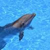 イルカやクジラの行動が想像以上に人間に近い 人の頭脳の発達のヒントになるか