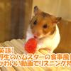 【英語】野生のハムスターの食事風景(かわいい動画でリスニング特訓)