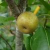 1個だけの梨