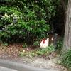 夏の朝神鶏ふるるや一声