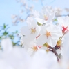 西宮中央運動公園の桜