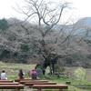 2017年 津山市 尾所の桜は4月22~23日ごろが見ごろになりそう