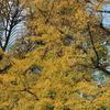 黄金に色づく銀杏たちと。