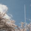 平成最後の桜