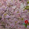 椿と桜の共演