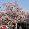 友部SAのサクラ(笠間市)~つくば市とその周辺の風景写真案内(385)