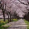 多摩市 奈良山公園の桜
