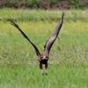 OLYMPUS OM−D E−M1 試写 猛禽飛翔(トビ、チョウゲンボウ)