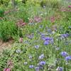 「佐久の季節便り」、「ひろば・賢治ガーデン」の植栽も、夏の装いに…。