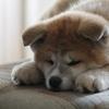 ザギトワに秋田犬を贈呈・・・でも自分で飼うわけではない