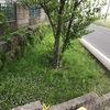 今朝は、クラピアの間の雑草を取りました。