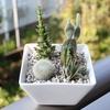 アガベ・パキポの種まき〜1ヵ月〜とサボ寄せ植え