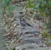 早朝探鳥、善福寺公園の野鳥。