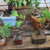 暴風雨の盆栽