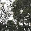 「マダム倶楽部」活動報告 カワズザクラの見頃は終わったけど、スタバ@SAKURA2020♪ 3月3日