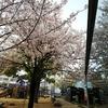 若草公園の国鉄C55形蒸気機関車と桜