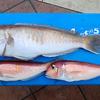 キロ1万円越えの超高級魚、シロアマダイはやっぱりうまい