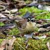 今年撮影した珍鳥ヤマヒバリ