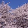大和市 引地川千本桜