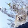 桜と桜まつりコンサートのこと