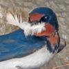 0411【ツバメの巣作り泥集め】カワセミ求愛給餌、カワラヒワ、モズ。鶴見川水系恩田川の身近な生き物、野鳥達をコンデジ撮影。 #身近な生き物語 #ツバメ #カワセミ