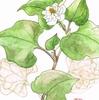 「水彩で描く植物画」サークル