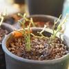 今週のしゅみえん|バラの植え替え。ミニバラの年越し支度