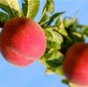 【新発見!】大人気!!!期間限定「桃のカッペリーニ」