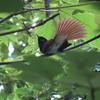 石神井公園の野鳥 サンコウチョウ他 2021年5月30日
