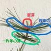 【どうする!?】松の盆栽の新芽【赤松・黒松編】