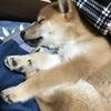 柴犬あきとの生活 10