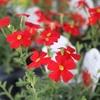 夏の花苗がいろいろ入りました♪ サンブリテニア スカーレットなど~♪