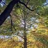 浜町公園で紅葉を見てから、焼鳥食べに「鳥どり」まで行ってみた。ヘリノックス便利。(中央区日本橋浜町)
