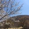 【伊豆】おススメスポット。大室山の桜とリフト。
