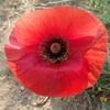 赤いポピーの花 そんなことはないか! Red poppy flower