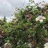 史上最高に開花したクレマチス