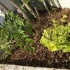 シマトネリコの下草を植える