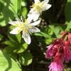 谷川岳馬蹄形の花たち