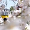 今年も福井の桜を堪能しました