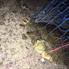 近くの川で釣った天然スッポンを食べた話(大阪弁で語る)