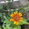 🌸ジニア開花🌸